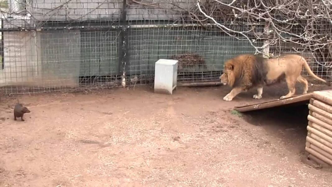 Perro y león en la jaula